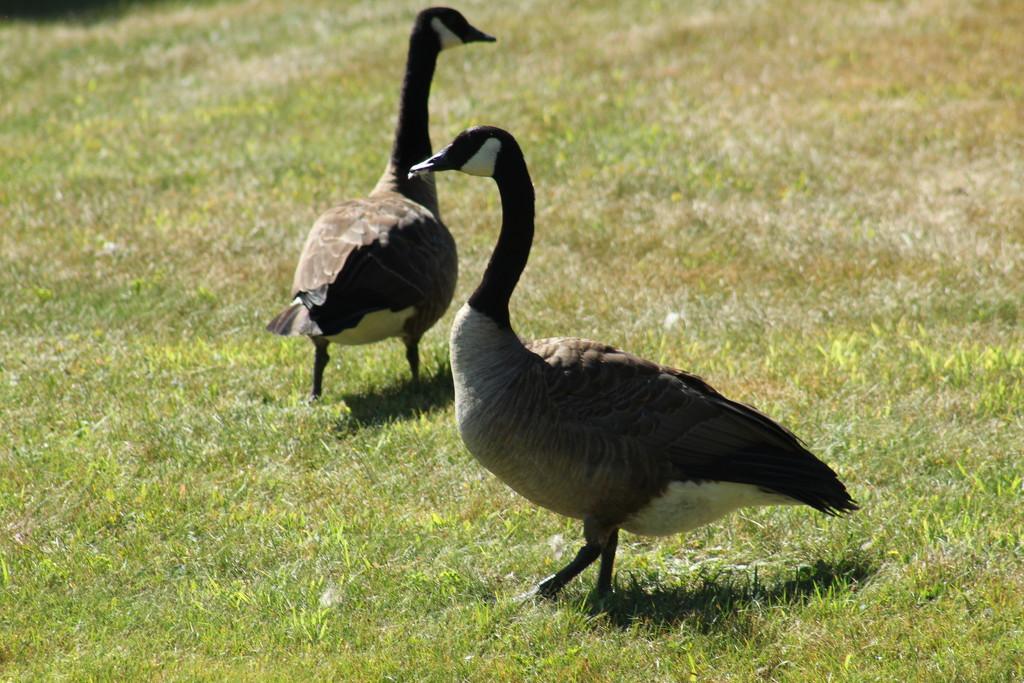 Neighborhood Canada Geese by rob257