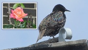8th Aug 2019 - A Church garden rose and a starling.