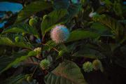 8th Aug 2019 - Pond flower - Button Bush