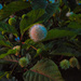 Pond flower - Button Bush by joansmor