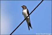 8th Aug 2019 - Lovely swallow