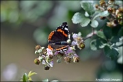 8th Aug 2019 - Red Admiral
