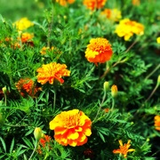 7th Aug 2019 - Mary's Marigolds