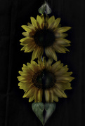 8th Aug 2019 - Sunflowers' Reflection (Ribbetted)