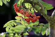 8th Aug 2019 - Rowan Berries