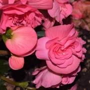 7th Aug 2019 - Begonia Tuberous Prism Rose Shade