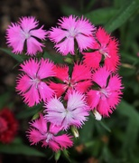 8th Aug 2019 - Dianthus Pink