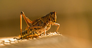 8th Aug 2019 - Eastern Lubber Grasshopper Without It's Antenna!