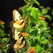 Two yellow swallowtails