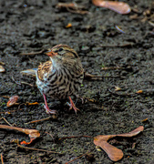 9th Aug 2019 - Song Sparrow