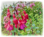 9th Aug 2019 - Hardy Fuschia