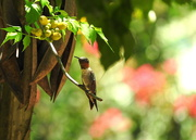 9th Aug 2019 - Ruby-throated hummingbird