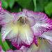 Wet Gladioli