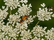 9th Aug 2019 - queen ann's lace and bug