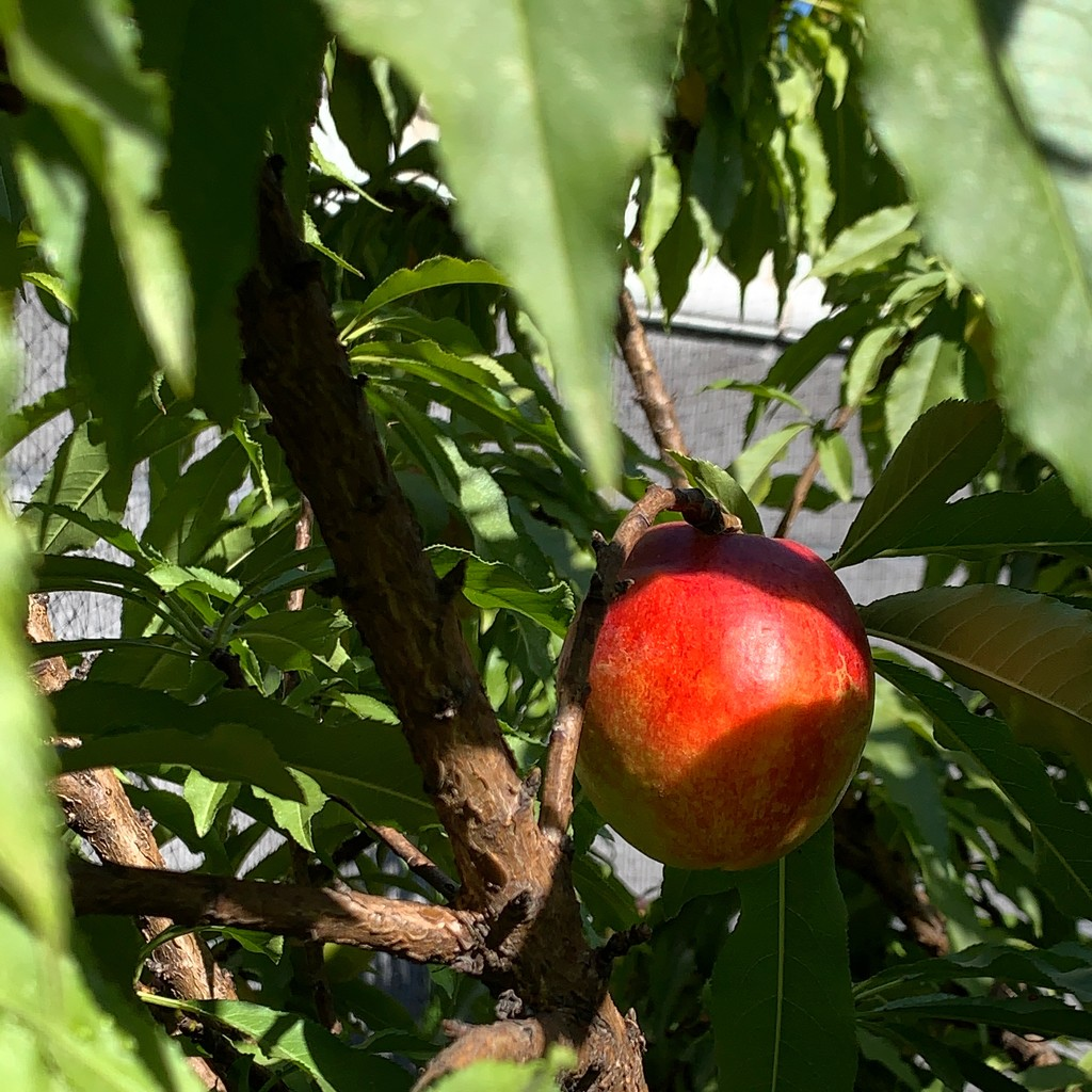 First Nectarine of the year by shutterbug49