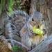 Chicago Botanic Garden Squirrel