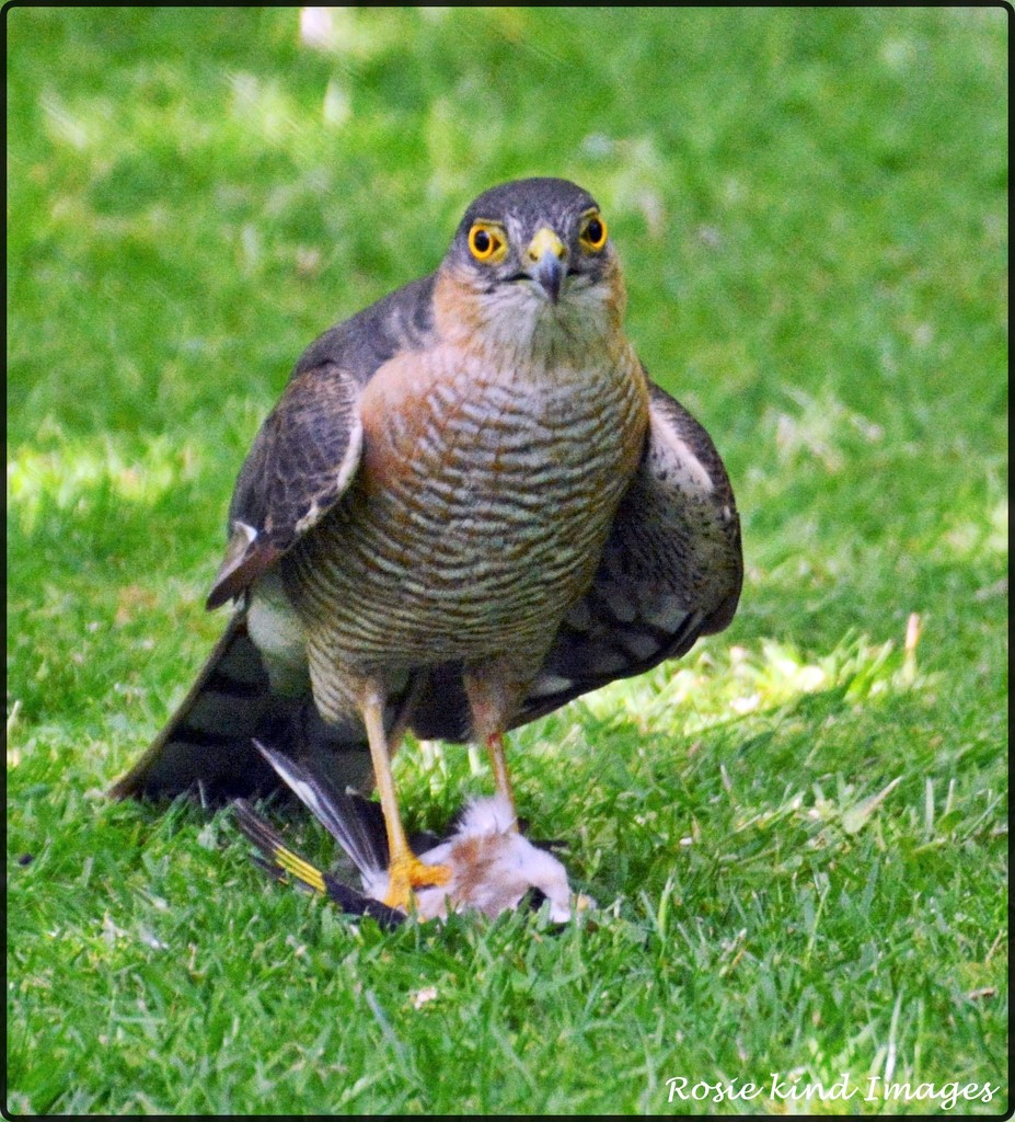Sparrowhawk by rosiekind