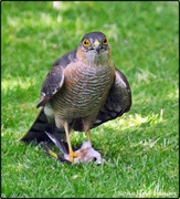 10th Aug 2019 - Sparrowhawk