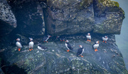 10th Aug 2019 - A Circus of Puffins