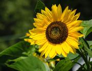 10th Aug 2019 - Sunflower