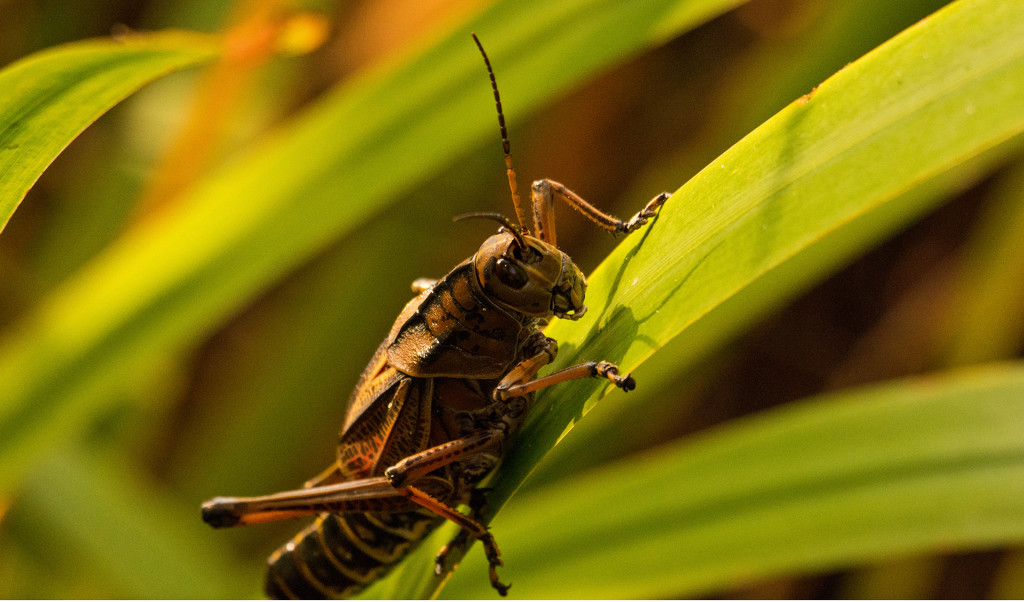 One More Eastern Lubber Grasshopper! by rickster549