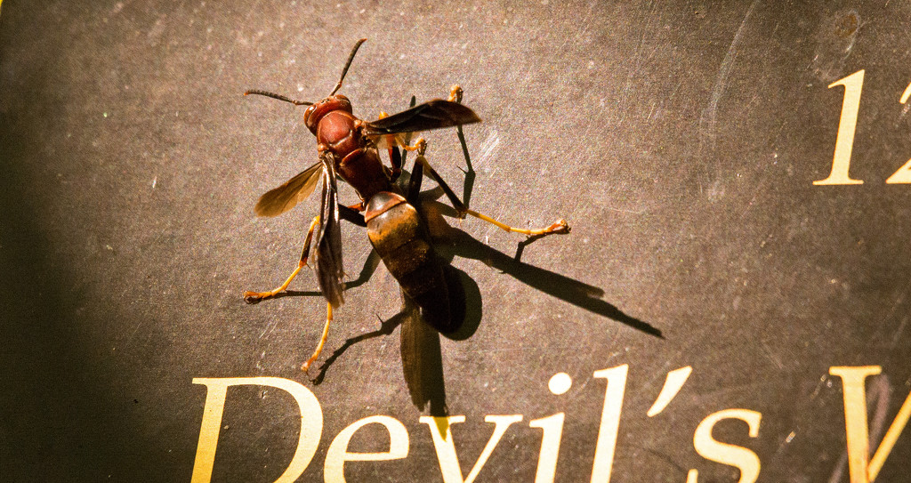 Devil's Wasp! by rickster549