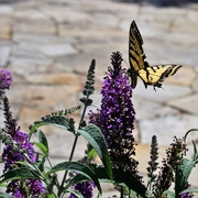 10th Aug 2019 - Butterfly Bush and Western Tiger Swallowtail