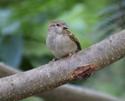 1st Aug 2019 - Young Sparrow