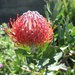 Pincushion Protea by ninaganci