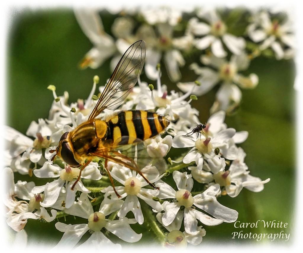 Hoverfly And Bug by carolmw