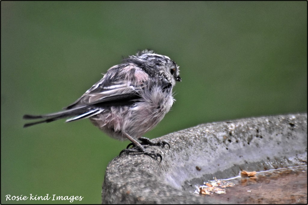 Scruffy young long tailed tit by rosiekind