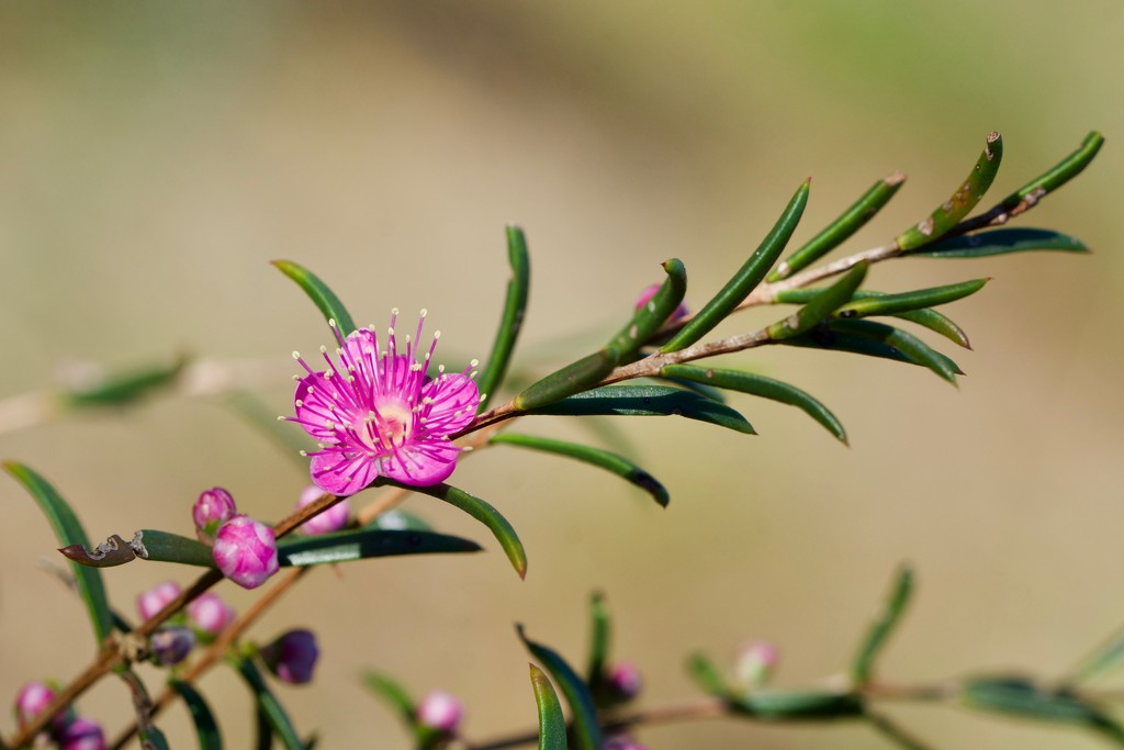 Swan River Myrtle_DSC8072 by merrelyn