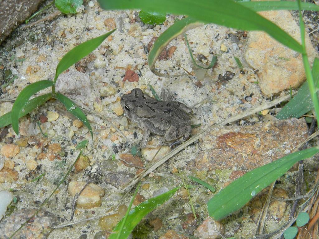 Toad Beside Neighbor's House by sfeldphotos