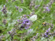 9th Aug 2019 - Bees and the butterflies love the lavender