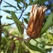 Naturally Dried Protea