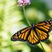 Elusive Monarch by marylandgirl58
