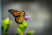 11th Aug 2019 - Monarch Pollination
