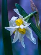 5th Aug 2019 - Daffodils
