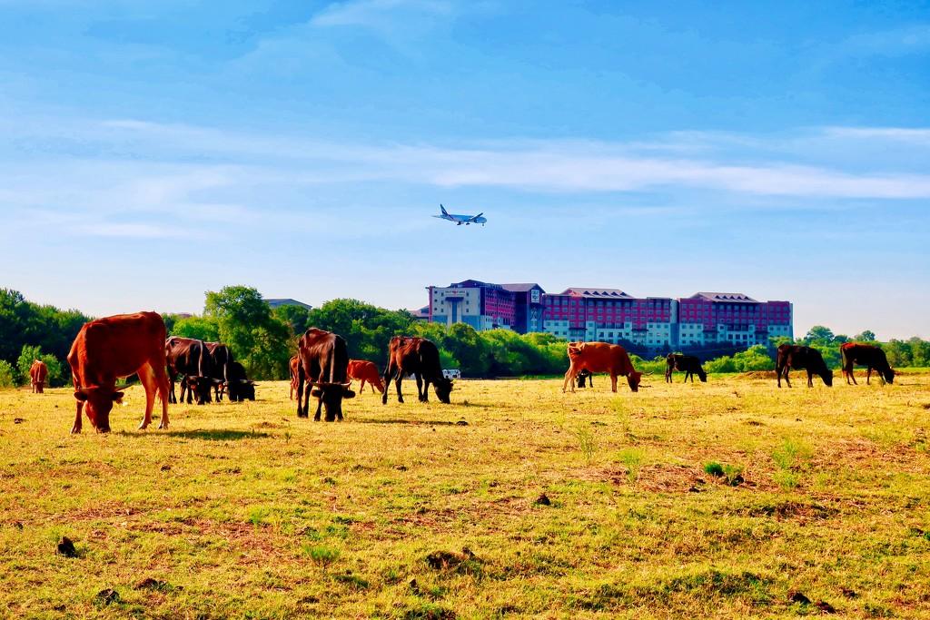 The Grapevine cattle by louannwarren
