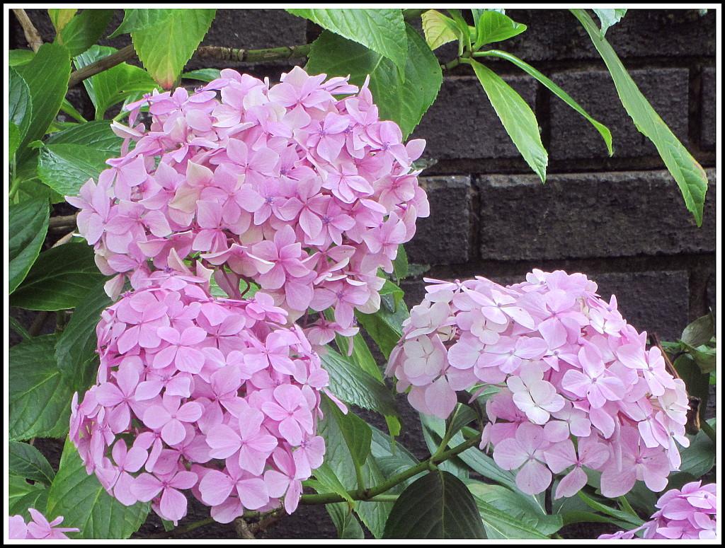 Pink hydrangeas by grace55