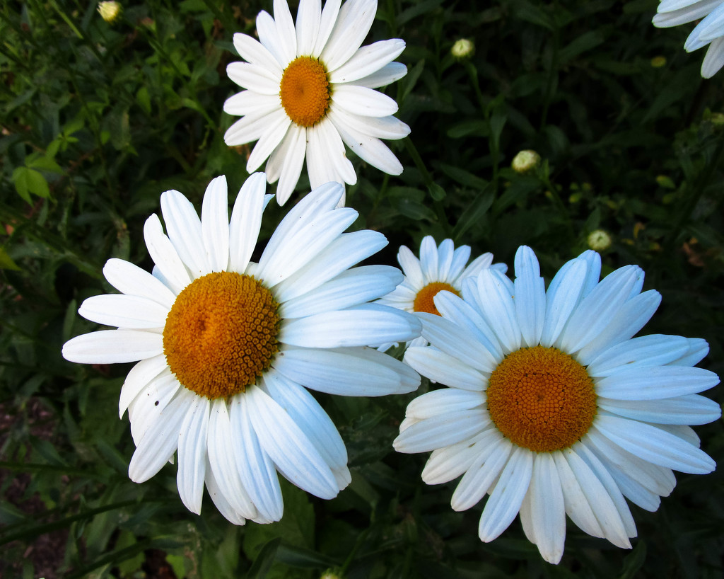 Daisies by mittens
