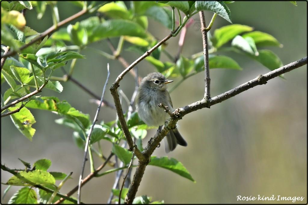 Garden Warbler by rosiekind