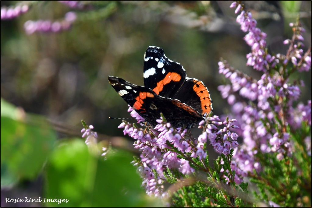 Red Admiral in the heather by rosiekind