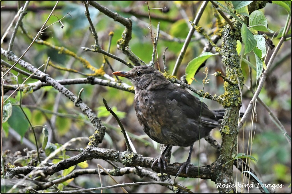 Mrs Blackbird by rosiekind