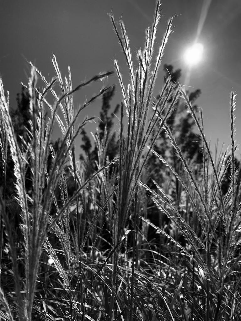 Grass in the morning sun by shutterbug49