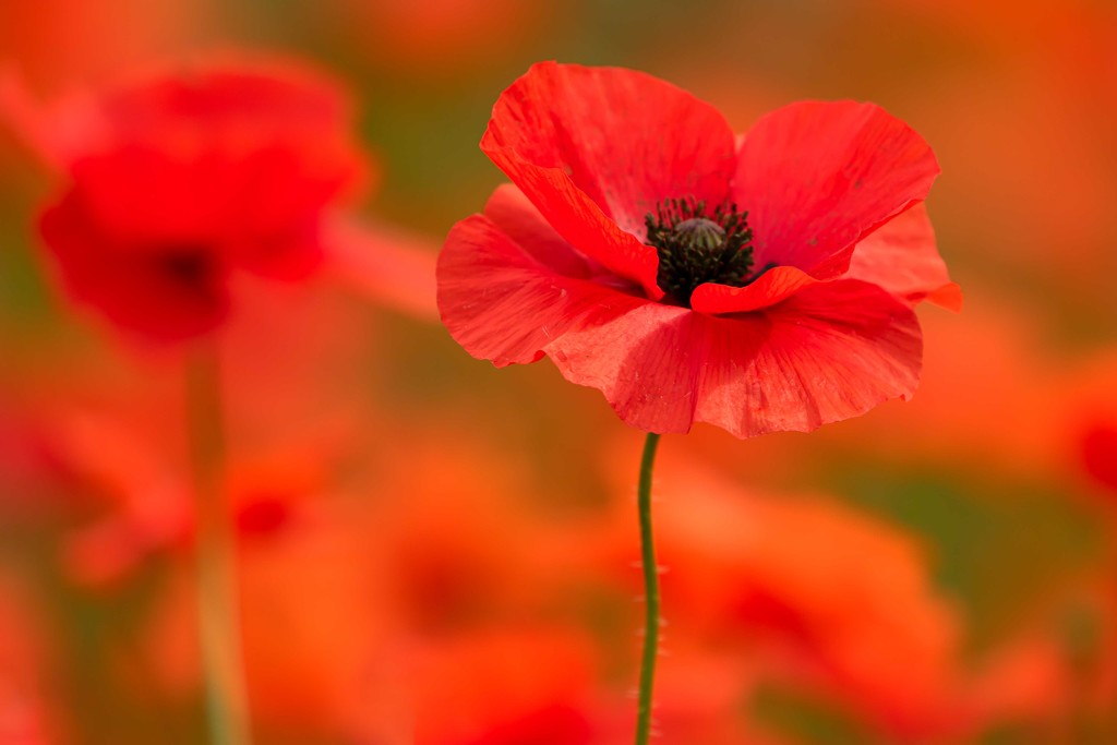 poppies  by shepherdmanswife