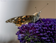 10th Aug 2019 - Another Painted Lady