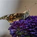 Another Painted Lady by pcoulson