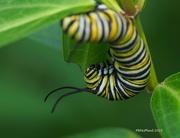 3rd Aug 2019 - Busy Caterpillar