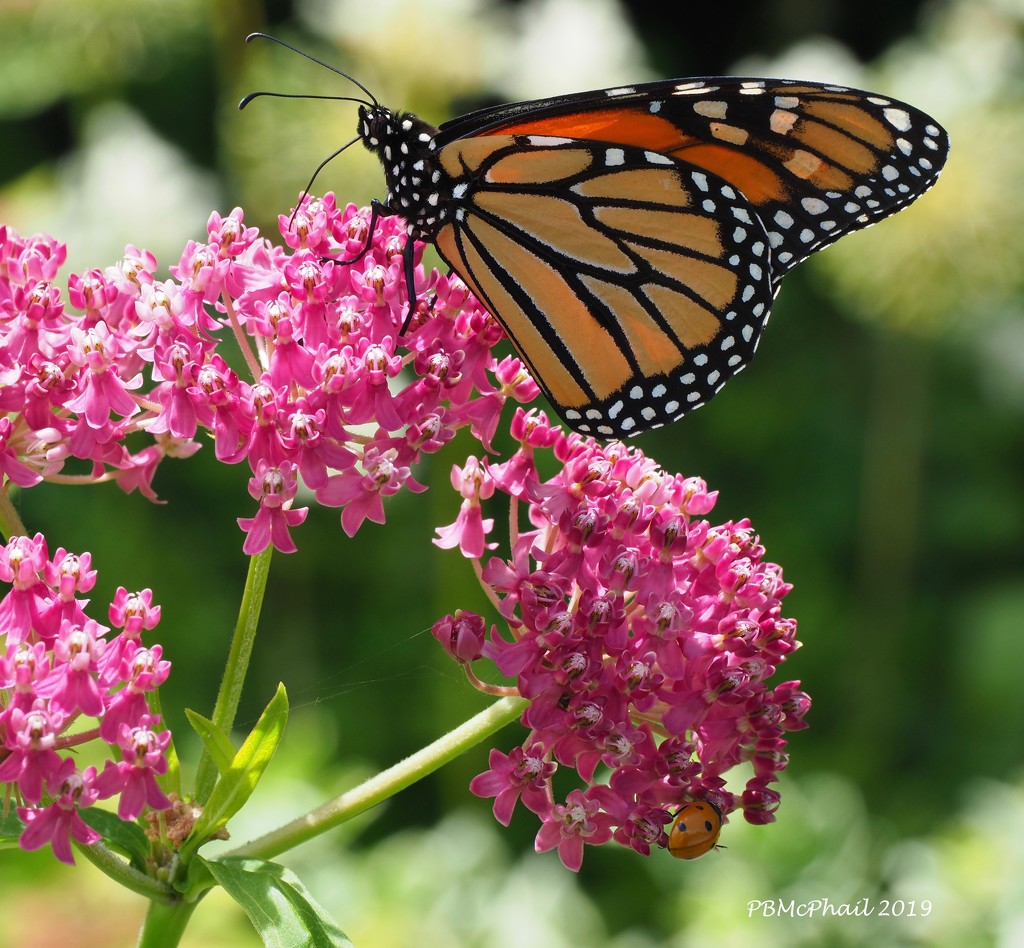 Monarch Mama by selkie